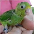 parrotlet-contact-calls_thumb