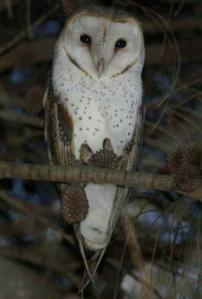 barn_owl_in_black_rock_by_ian_parsons_0