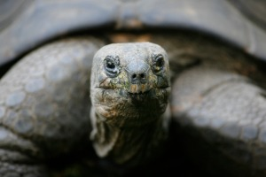 A giant turtle is pictured at the zoo in Duisburg