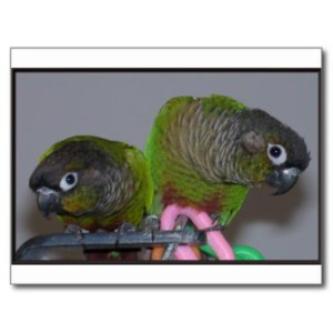 adorable_greencheek_conures_postcard-rf506fd572902427ca9fc0692c83ea914_vgbaq_8byvr_324