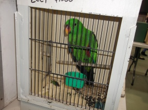 eclectus in tight box $4000 at Mornington Peninsula Bird Show Melbourne at Mornington Peninsula Bird Show Melbourne
