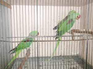 Green parrots with no food at Mornington Peninsula Bird Show Melbourne
