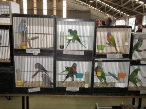 lorikeets etc in box at Mornington Peninsula Bird Show Melbourne 2014
