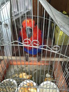 eclectus charlie 1