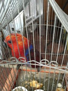 eclectus charlie 2